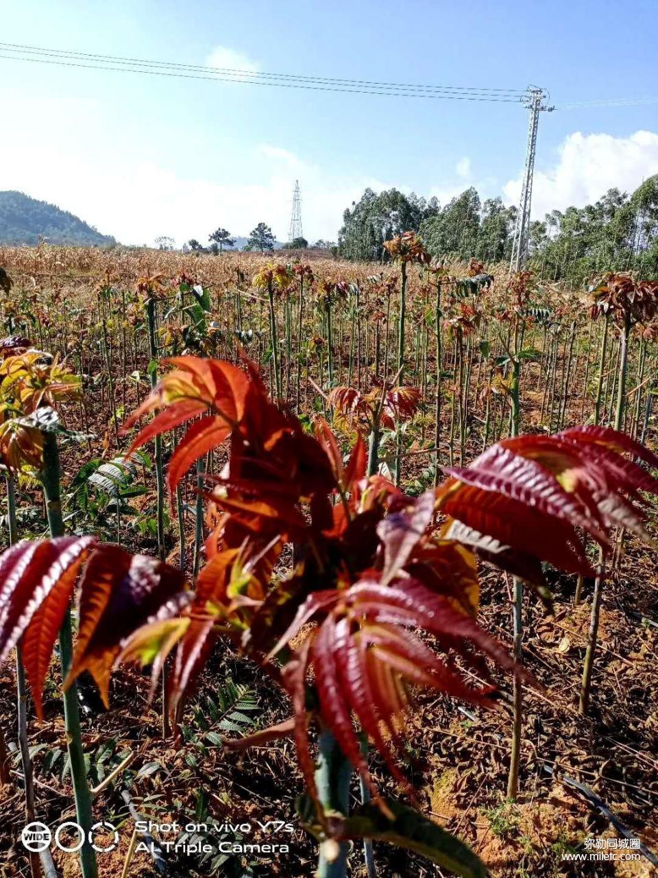 四季香椿树苗出售